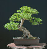 Hillieri Elm Bonsai In Spring Royalty Free Stock Image