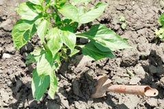 Hilling da pimenta de sino do arbusto Fotografia de Stock Royalty Free