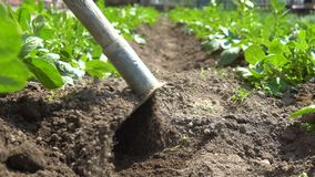 Hilling potatoes. A gardener with a hoe cultivates plants stock video footage