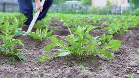 Hilling potatoes. A gardener with a hoe cultivates plants stock footage