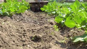 Hilling potatoes. A gardener uses a motor cultivator to hilling potatoes stock video footage