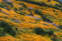 Hills of California Golden Poppy Stock Image