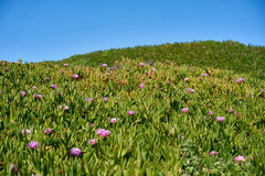 Hills covered by purple succulent flowers Ice Plant Royalty Free Stock Image