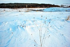 Hills covered with snow, pine forest on the hills, dry flower stems on the foreground, winter blurry landscape, bright blue sky royalty free stock photography