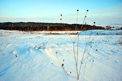 Hills covered with snow, pine forest on the hills, dry flower stems on the foreground, winter blurry landscape, blue sky royalty free stock photo
