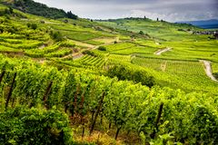 Hills covered with vineyards in the wine region of Alsace, France royalty free stock images
