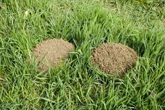 The hills of the earth are dug up in moles. Mole in the clearing. The hills of the earth are dug up in moles. Mole in the clearing royalty free stock photography