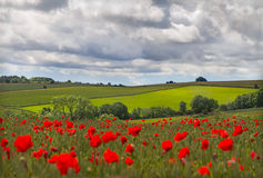Hills in with field of poppies near Leafield, Cots Royalty Free Stock Photo