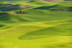 Hills and fields of the Palouse. Wheat and peas in late Spring in the fields and rolling hills of the Palouse Royalty Free Stock Photography