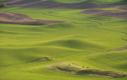 Hills and fields of the Palouse. Wheat and peas in late Spring in the fields and rolling hills of the Palouse Stock Photo