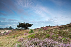 Hills with flowering heather and oak tree Royalty Free Stock Image