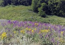 Hills, flowers and a cow royalty free stock photos