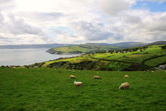 Hills with green fields and sheeps along Antrim Coast Stock Photo