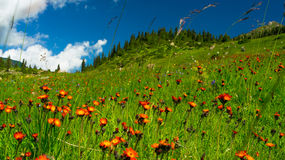 Hills, meadows in orange flowers and a green grass Stock Photos