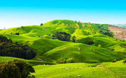 Hills of the New Zealand. Beautiful green hills covered by grass and with many sheep on the pasture Royalty Free Stock Photos