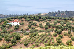 Hills with olive trees landscape Royalty Free Stock Photo