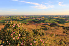 Hills of Palouse with Wild Roses Royalty Free Stock Images