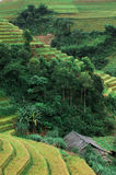 Hills of rice terraced fields Royalty Free Stock Photo