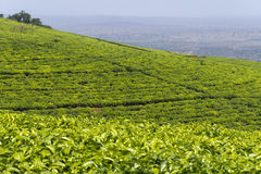 Hills with tea plantation Royalty Free Stock Images