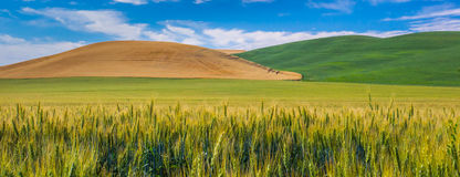 Hills of Wheat Royalty Free Stock Images