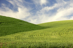 Hills of Young Wheat Stock Photos