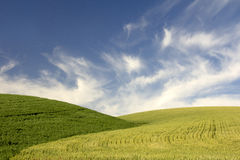 Hills of Young Wheat Stock Photography