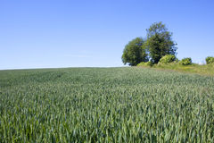 Hillside arable field. A field of unripe green wheat on a hillside with trees and hedgerow under a blue sky in summer Royalty Free Stock Photography