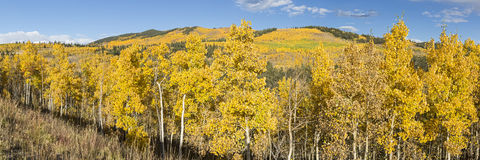 Hillside Aspen Panorama. A hillside full of golden aspen trees with the Twin Peaks in the background at Kenosha Pass, Colorado stock images