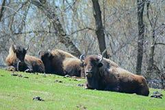 Hillside Bison Habitation fotografia stock libera da diritti