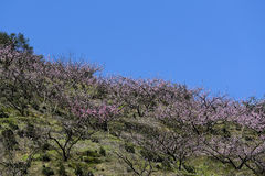 On the hillside are blooming pink peach blossom in spring Stock Photo