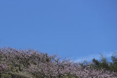 On the hillside are blooming pink peach blossom in spring Stock Photos