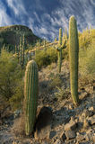 Hillside Cactus Royalty Free Stock Images