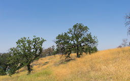 Hillside California Oaks Stock Image