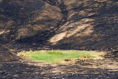 Green grass in the middle of fire charred valley. Hillside charred by the wild fire that raged through Napa and Sonoma counties in California, fence along left royalty free stock image