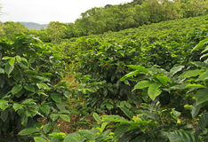 Hillside of Coffee Royalty Free Stock Image