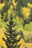 Hillside Color. A cone laden spruce stands alone against a forest of ponderosa pine and aspen Royalty Free Stock Photo