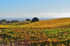Hillside of colorful grapevines. A rolling landscape of colorful grapevines covering the hillside Royalty Free Stock Photos