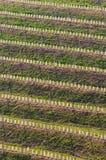 Hillside con le file di nuove piante della vigna nella regione del vino in Slovenia immagini stock libere da diritti