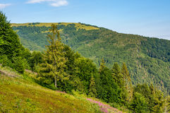 Hillside with conifer forest and fireweed Royalty Free Stock Photography