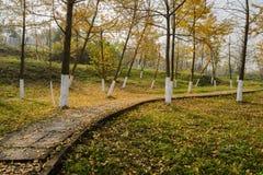 Hillside a défraîchi des ginkgos et des feuilles tombées le long du chemin en pierre dedans photos stock