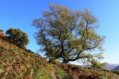 Hillside footpath and large tree in Autumn colors Stock Images