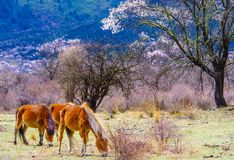 Peach blossom and horse in spring royalty free stock photo