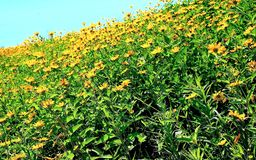A Hillside of Golden Flowers. I enjoyed climbing this flower covered hill of Black Eyed Susans, a common, but lovely golden flower. The brilliant blue sky Stock Photography