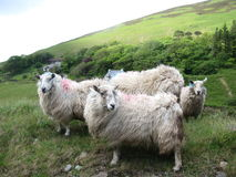 Hillside Irish sheep Stock Photography