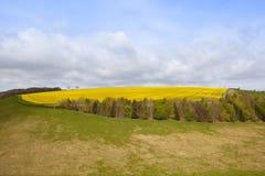 Hillside oilseed rape crop Stock Photo