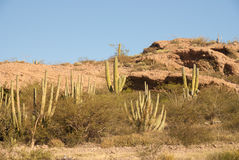 Hillside of Organpipe Cactus Royalty Free Stock Image