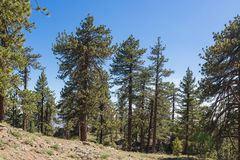 Hillside Pine Trees Royalty Free Stock Photos