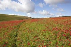 Hillside poppies Royalty Free Stock Image