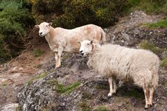 Hillside Sheep Royalty Free Stock Photos