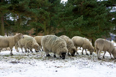 Hillside sheep feeding in winter. Royalty Free Stock Photo